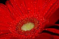 Gocce sul germoglio di fiore fotografia stock