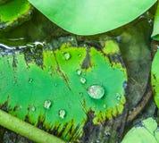 gocce sulla foglia del loto Fotografie Stock Libere da Diritti