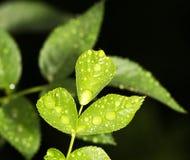 Gocce sulle foglie Immagini Stock