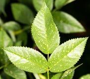Gocce sulle foglie Immagine Stock