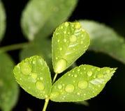 Gocce sulle foglie Immagini Stock Libere da Diritti