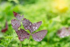 Gocce sulle foglie con la natura verde Fotografie Stock Libere da Diritti