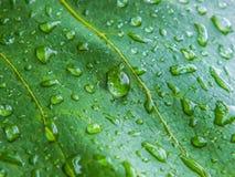 Gocce sulle foglie dell'uva Immagine Stock