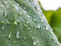Gocce sulle foglie dell'uva Fotografia Stock