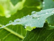 Gocce sulle foglie dell'uva Immagine Stock Libera da Diritti