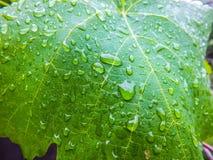 Gocce sulle foglie dell'uva Fotografia Stock Libera da Diritti