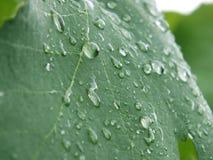 Gocce sulle foglie dell'uva Fotografie Stock