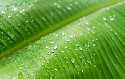 Gocce sulle foglie della banana Immagini Stock