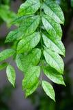 Gocce sulle foglie dopo pioggia Fotografia Stock