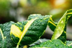 Gocce sulle foglie dopo pioggia Immagine Stock