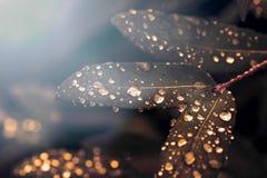 Gocce sulle foglie nei semitoni poca luce Immagine Stock