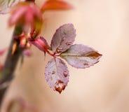 Gocce sulle foglie su un ramo di albero Fotografie Stock Libere da Diritti