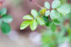 Gocce sulle foglie su un ramo di albero Immagine Stock