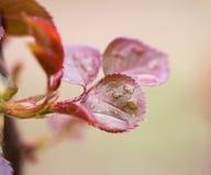 Gocce sulle foglie su un ramo di albero Immagini Stock