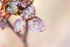 Gocce sulle foglie su un ramo di albero Immagini Stock Libere da Diritti