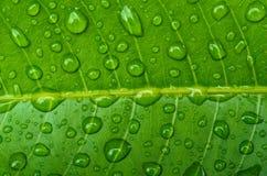 Gocce sulle foglie verdi Fotografia Stock Libera da Diritti