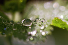 Gocce sulle foglie verdi Fotografia Stock