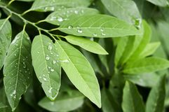 Gocce sulle foglie verdi di annona squamosa Immagini Stock