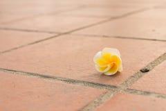 Goccia del fiore di plumeria sul pediluvio Fotografie Stock Libere da Diritti