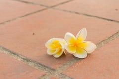 Goccia del fiore di plumeria sul pediluvio Fotografia Stock Libera da Diritti