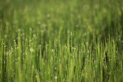 Goccia del fondo della sfuocatura dell'azienda agricola del riso e luce dolce immagini stock