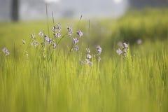 Goccia del fondo della sfuocatura dell'azienda agricola del riso e luce dolce fotografia stock