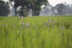 Goccia del fondo della sfuocatura dell'azienda agricola del riso e luce dolce immagini stock libere da diritti