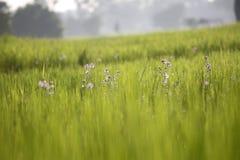 Goccia del fondo della sfuocatura dell'azienda agricola del riso e luce dolce fotografie stock
