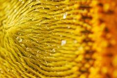Goccia del girasole Fotografie Stock Libere da Diritti