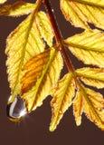 Goccia dell'acqua sui fogli d'autunno Immagine Stock Libera da Diritti
