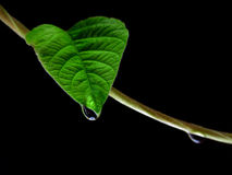 Goccia dell'acqua sul foglio verde Immagine Stock Libera da Diritti