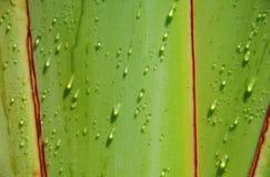 Goccia dell'acqua sull'albero del viaggiatore immagine stock libera da diritti