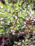 Goccia dell'acqua sulla pianta verde Immagine Stock