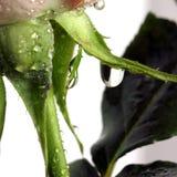 Goccia della Rosa sul quadrato bianco Immagini Stock