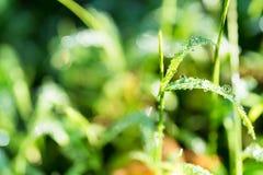 Goccia di acqua dell'erba fotografia stock