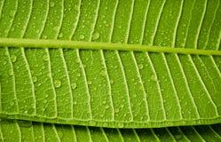 Goccia di acqua in permesso verde Immagini Stock