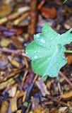 Goccia di acqua in permesso verde Fotografie Stock