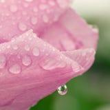 Goccia di acqua su un petalo rosa del tulipano Immagini Stock Libere da Diritti