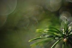 Goccia di acqua sugli aghi attillati dell'albero Fotografie Stock Libere da Diritti