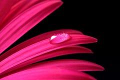 Goccia di acqua sul fiore rosa della gerbera Fotografie Stock
