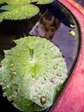 Goccia di acqua sul foglio verde di loto Immagine Stock