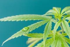 Goccia di acqua sul giovane dettaglio verde della pianta della cannabis della foglia Fotografia Stock