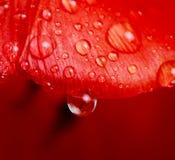 Goccia di acqua sul tulipano Fotografie Stock Libere da Diritti
