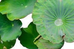 Goccia di acqua sulla foglia del loto su fondo bianco Fotografia Stock