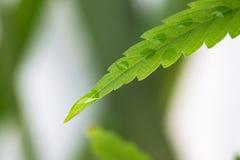 Goccia di acqua sulla giovane cannabis verde della foglia Immagini Stock Libere da Diritti