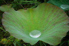 Goccia di acqua sulle foglie degli zoticoni Immagine Stock Libera da Diritti