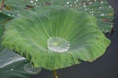 Goccia di acqua sulle foglie del loto Immagini Stock Libere da Diritti