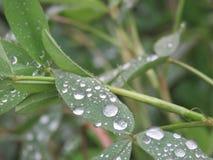 Goccia di acqua sulle foglie di mattina Fotografia Stock