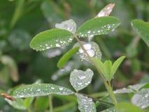 Goccia di acqua sulle foglie di mattina Fotografie Stock