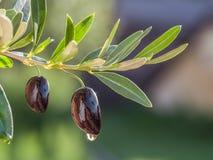 Goccia di olio d'oliva che cade dalla bacca e che brilla al sole immagini stock